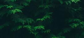 Thuja – immergrüner Sichtschutz rund um den Garten